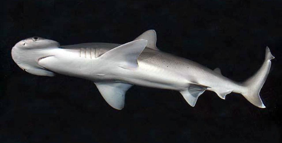 Forskare har hittat en allätande haj