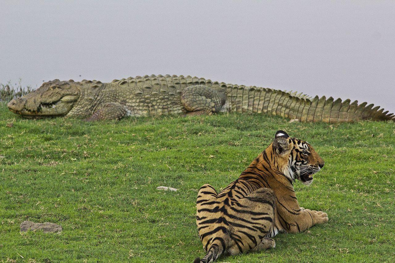 Nepal har fördubblat antalet vilda tigrar på nio år