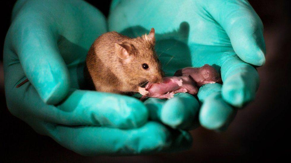 Möss med två biologiska mammor födda i Kina
