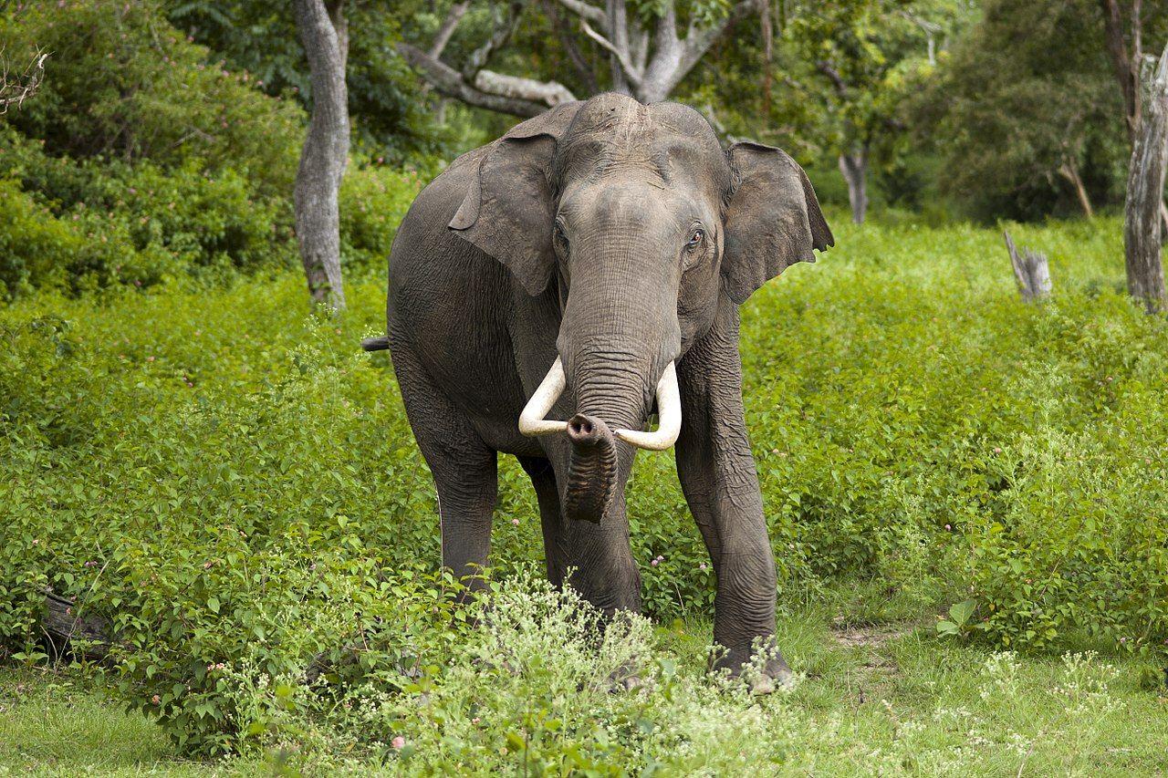 Tjuvjägare dödar elefanter för att göra pärlor av dem