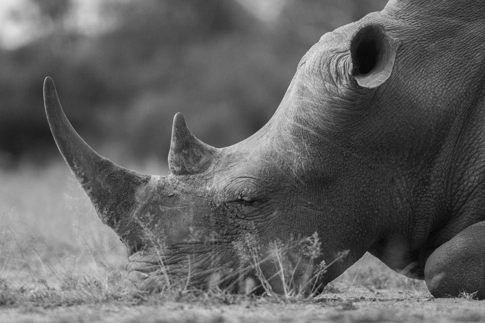 Auktionshus slutar sälja noshörningshorn