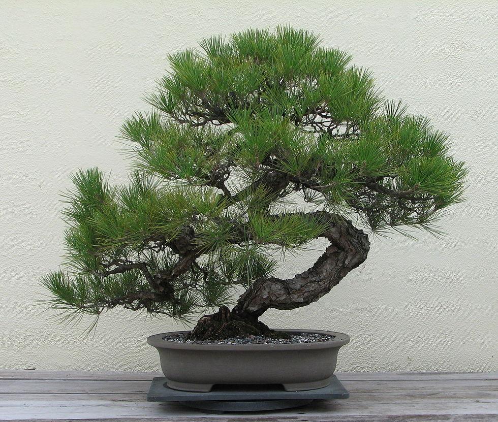 400-årigt bonsaiträd stulet