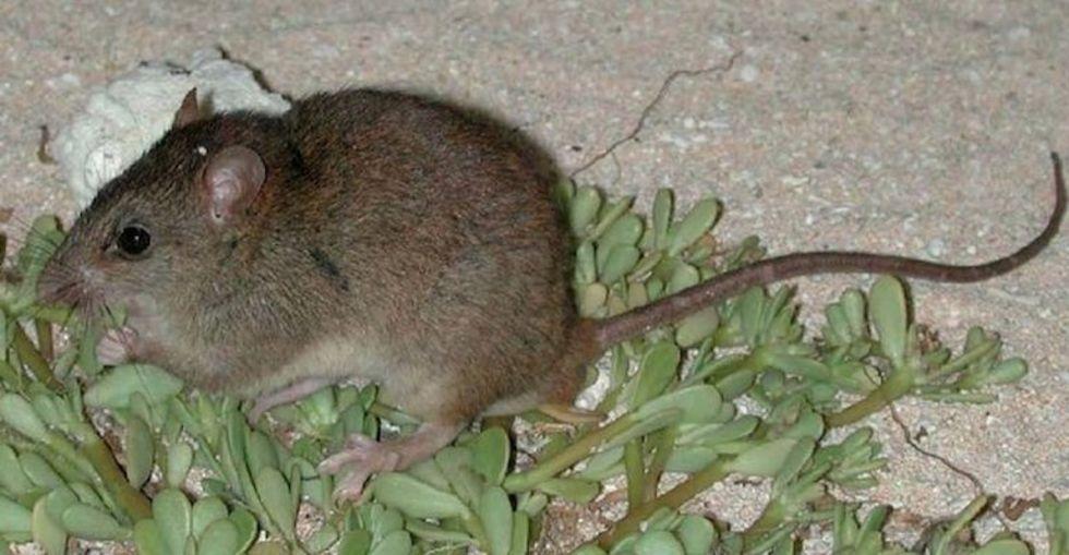 Klimatförändringarna tros ha utrotat sin första däggdjursart