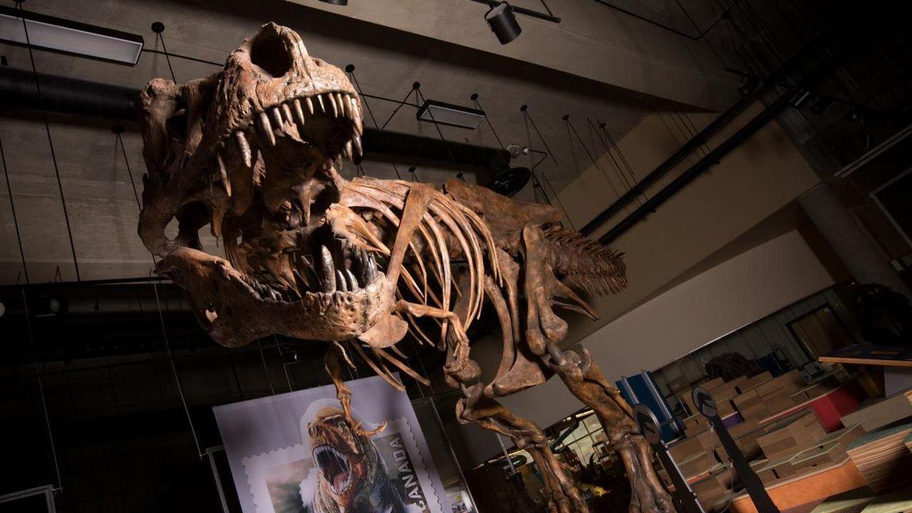 Här är världens största skelett från en Tyrannosaurus rex