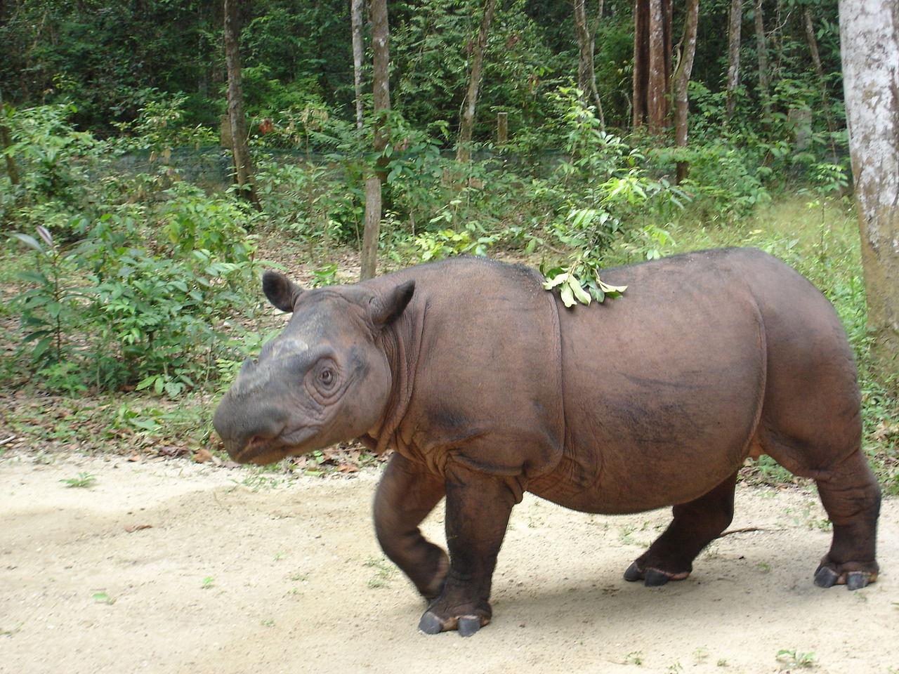 Sista noshörningshannen i Malaysia har dött