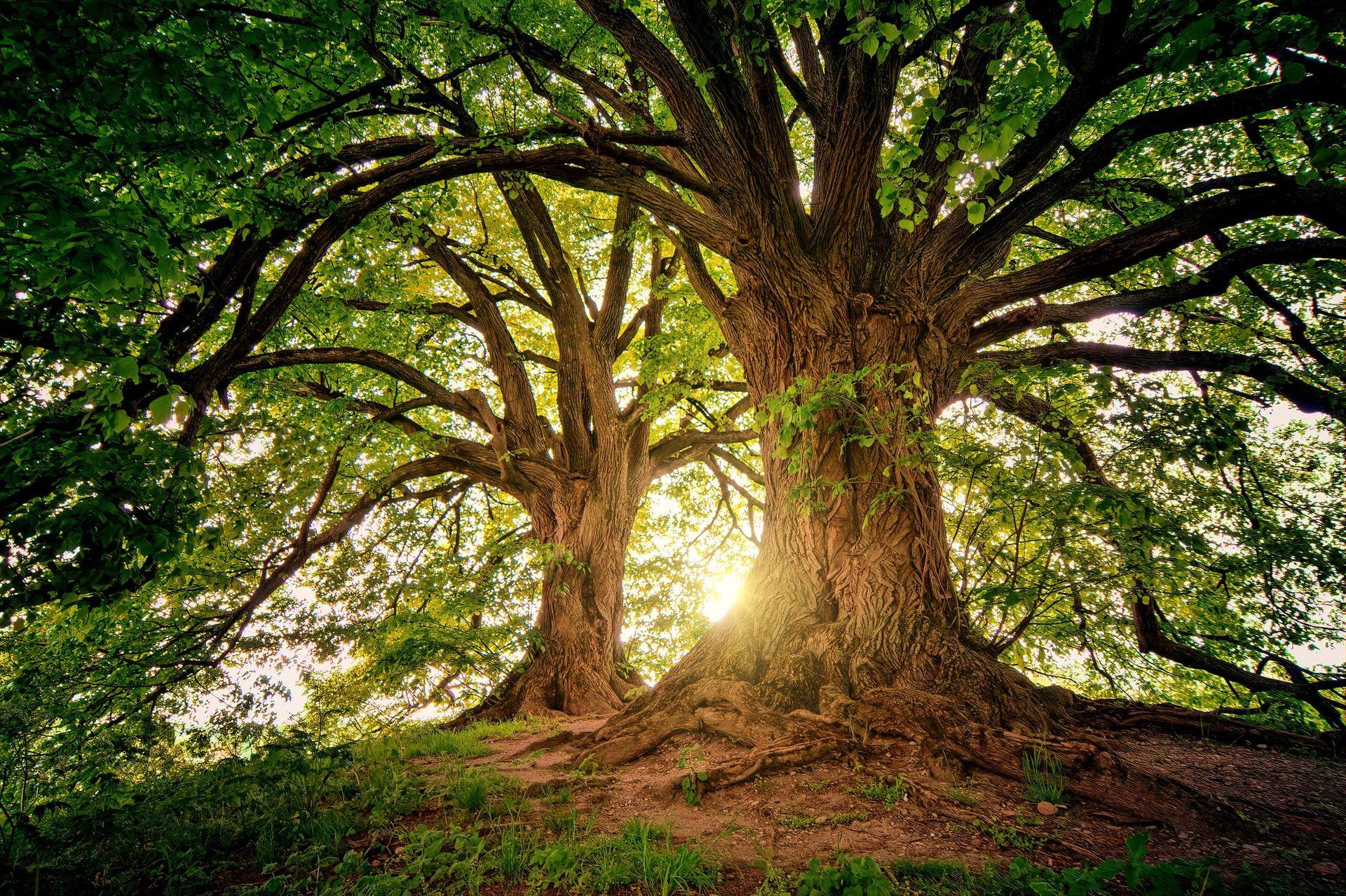 Träd kan absorbera majoriteten av världens koldioxidutsläpp