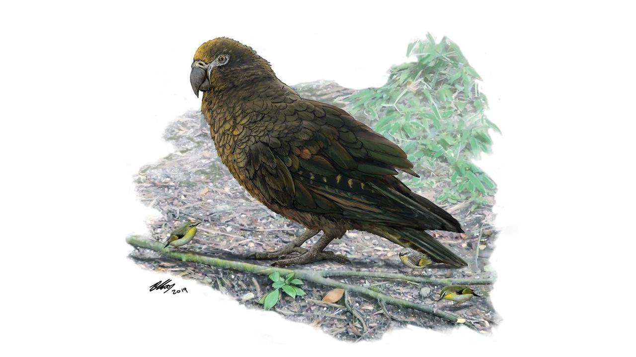 Fossil från jättepapegoja hittade på Nya Zeeland
