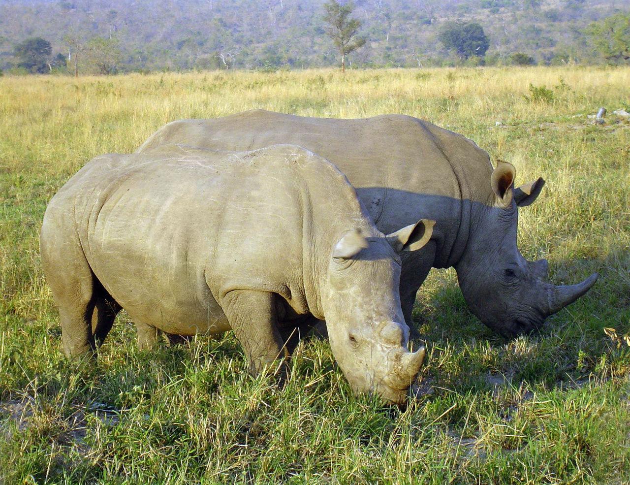 Forskare tar ägg från utrotningshotad noshörning