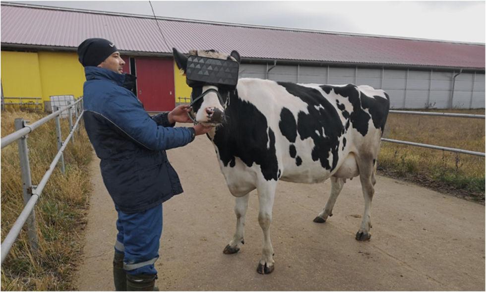 Ryska bönder testar vr-upplevelser för mjölkkor