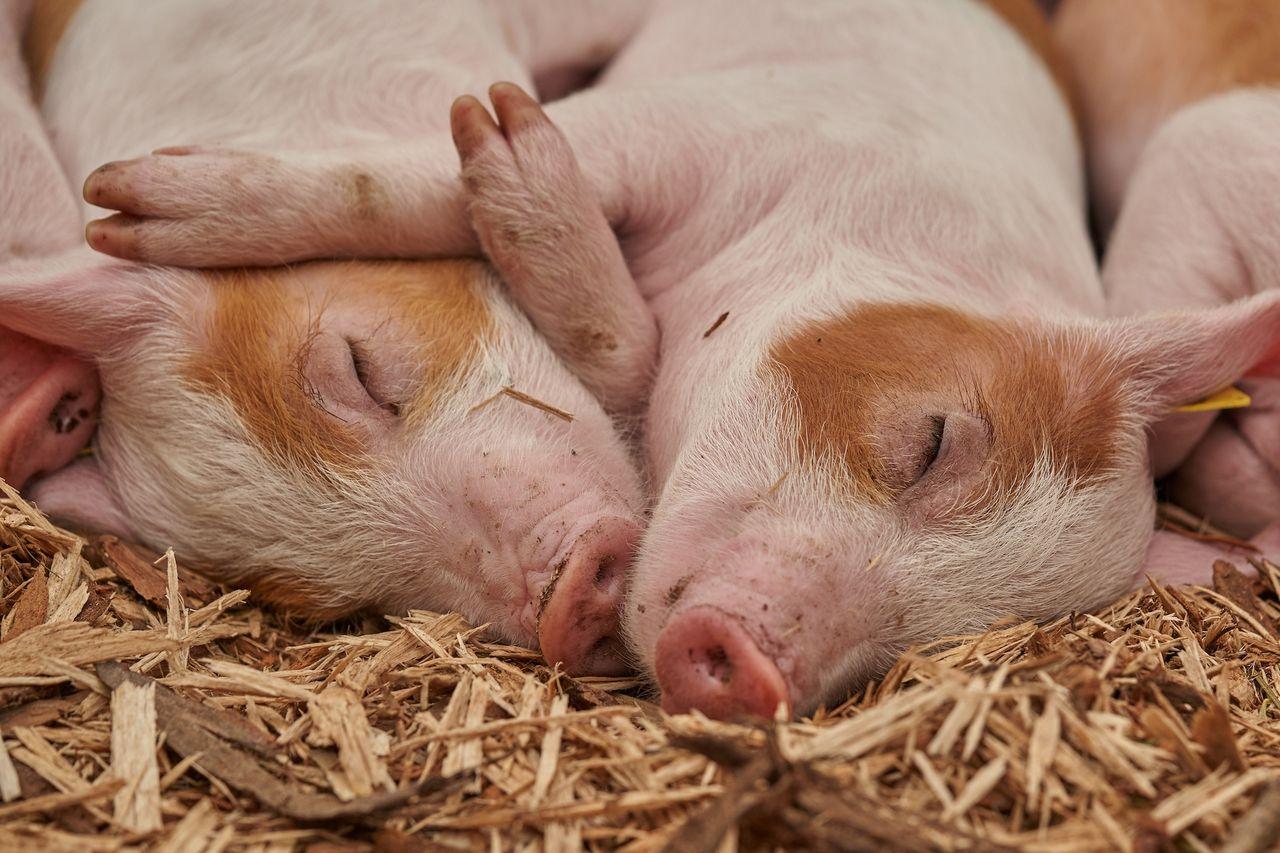Forskare har fött fram grisar med DNA från apor