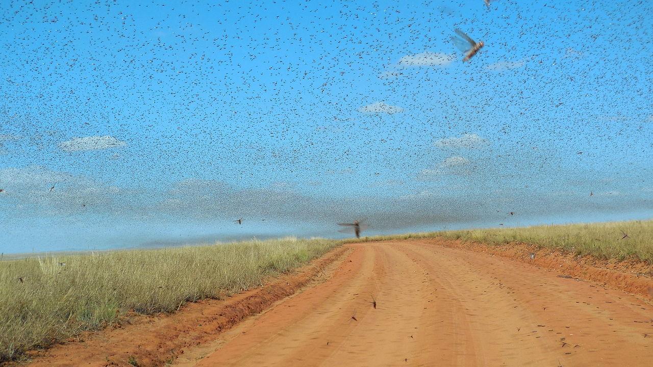 FN ska bekämpa gräshoppor i Afrika med drönare