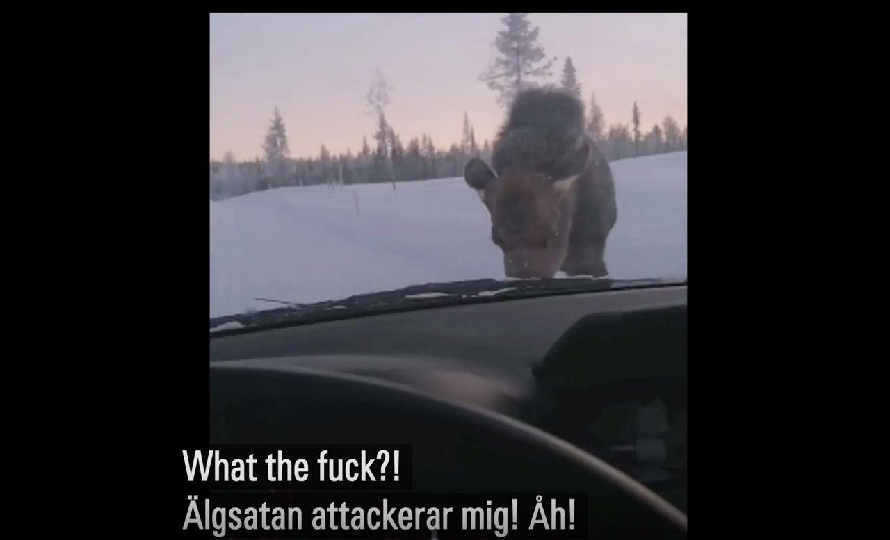 Älg halkar på vägen och blir sur på bilen som står framför