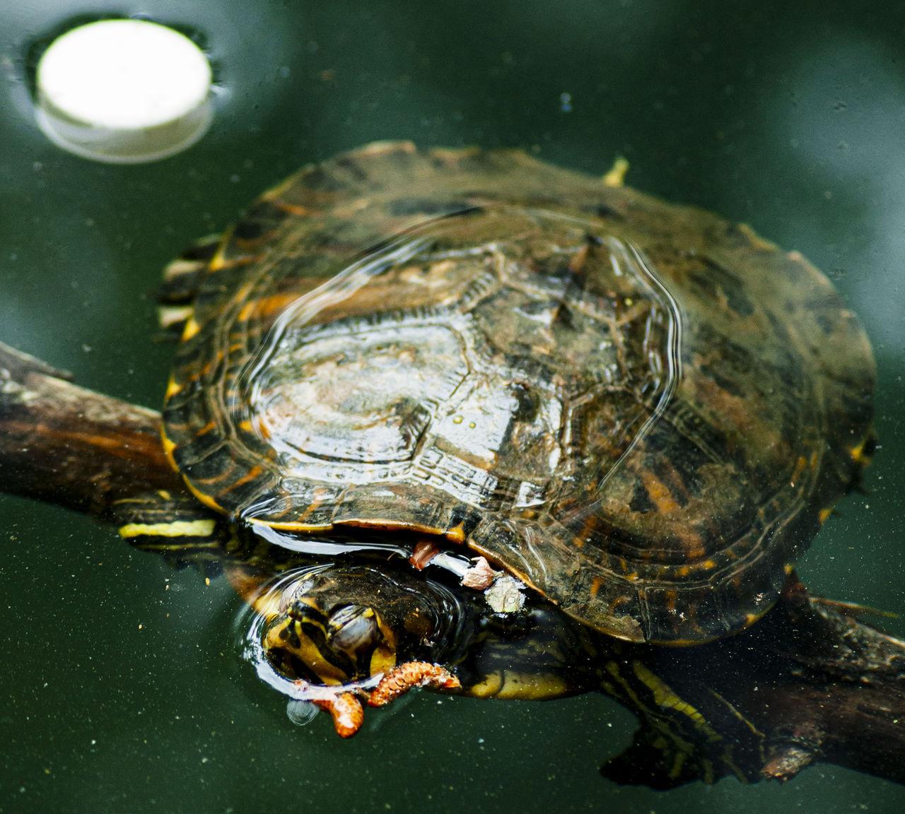 Sköldpaddor tror att plast är mat