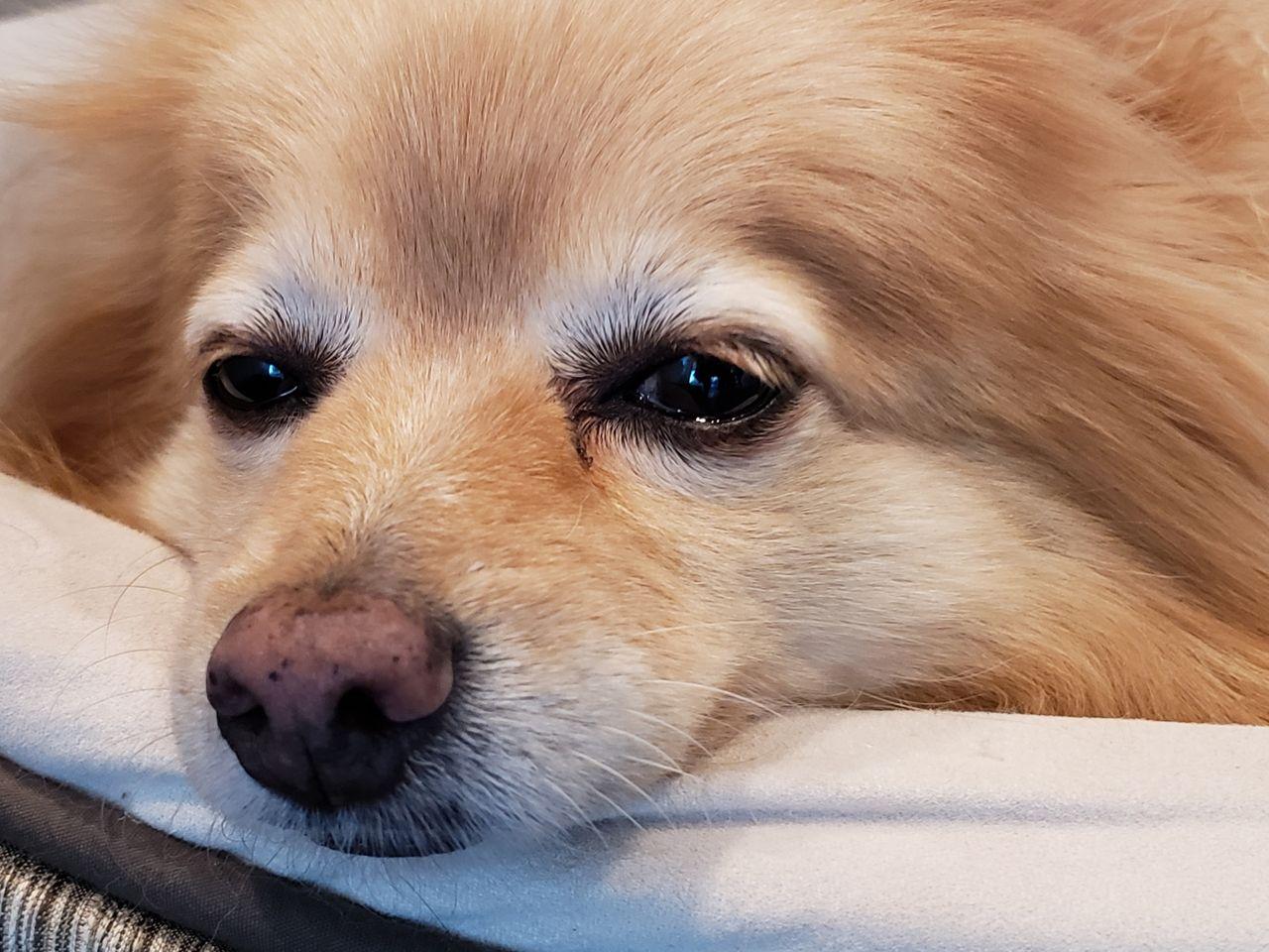 Hundar smittade av coronaviruset