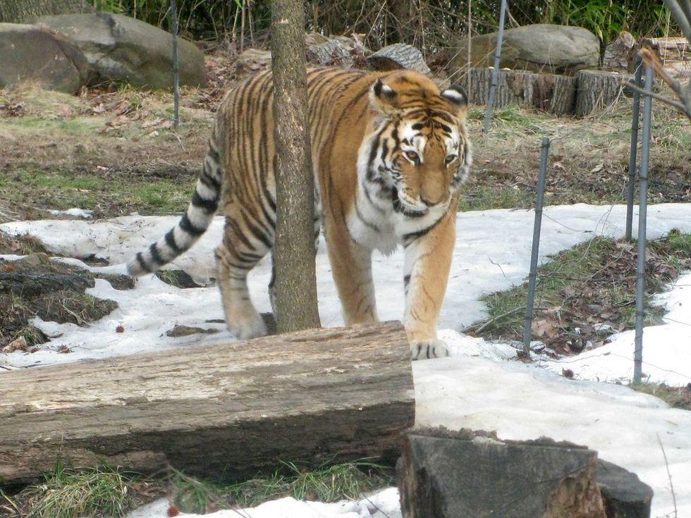 Även tigrar kan smittas av coronaviruset