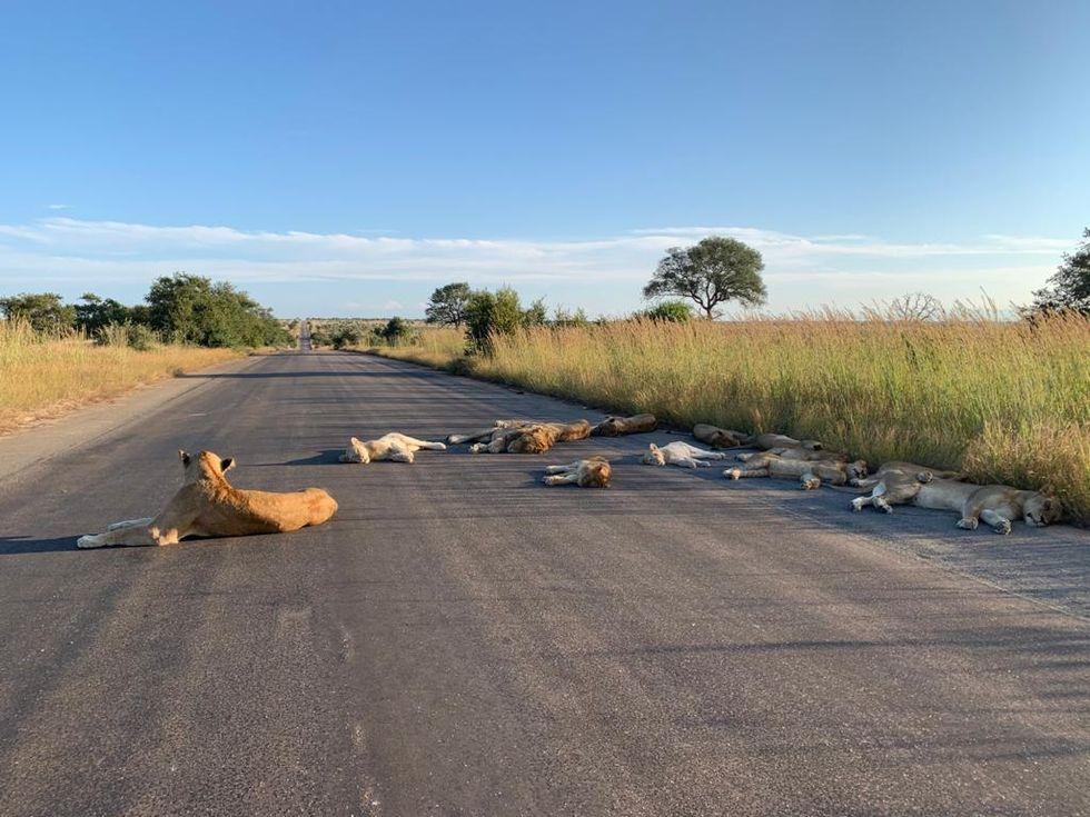 Lejon pandemi-chillar i Sydafrika