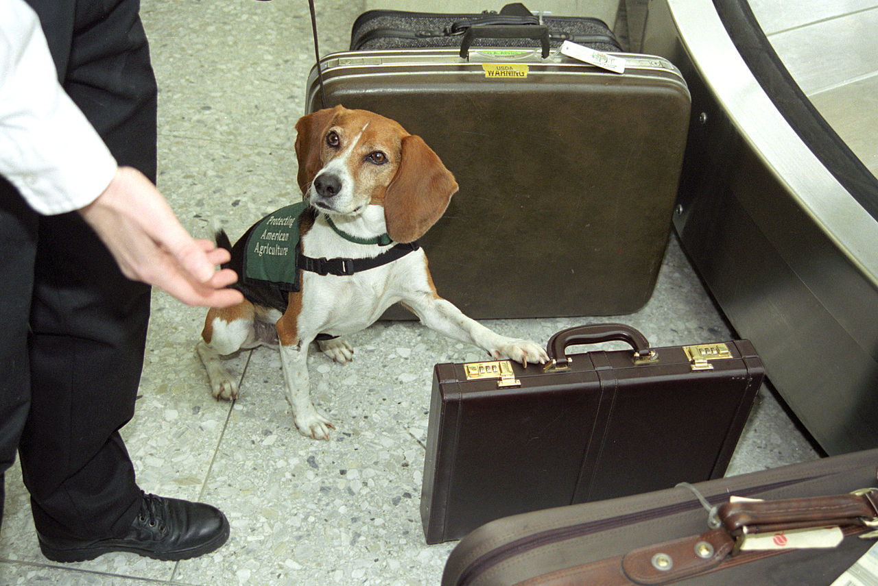 Hundar tränas upp för att hitta coronasmittade människor