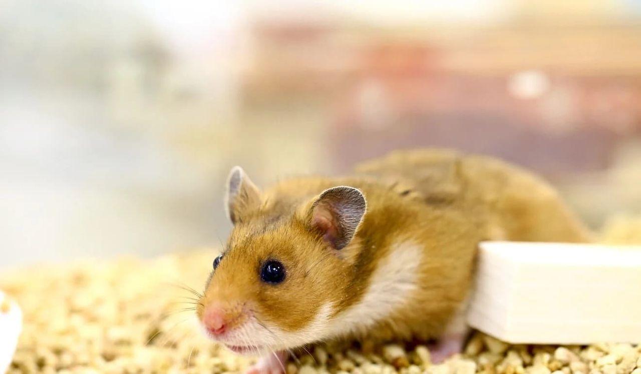 Munskydd skyddade hamstrar från coronavirus