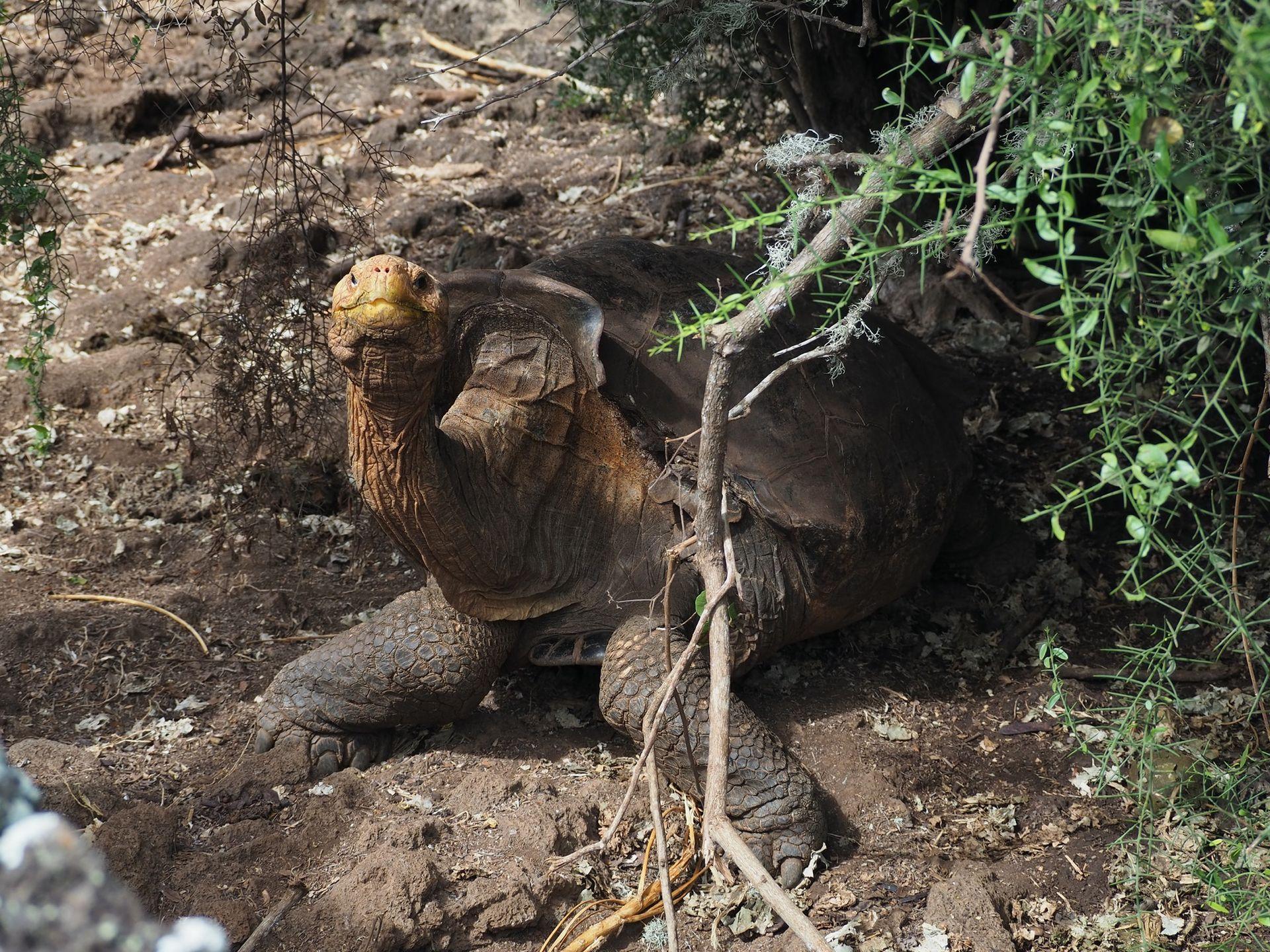 Sköldpaddan Diego har räddat sin art från utrotning