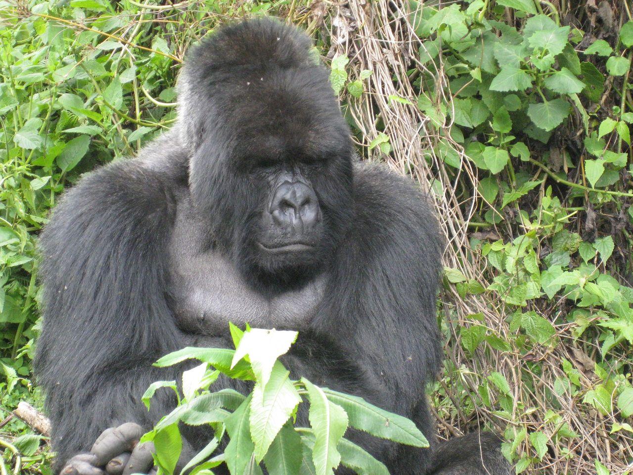 Tjuvjägare som sköt sällsynt gorilla får elva års fängelse