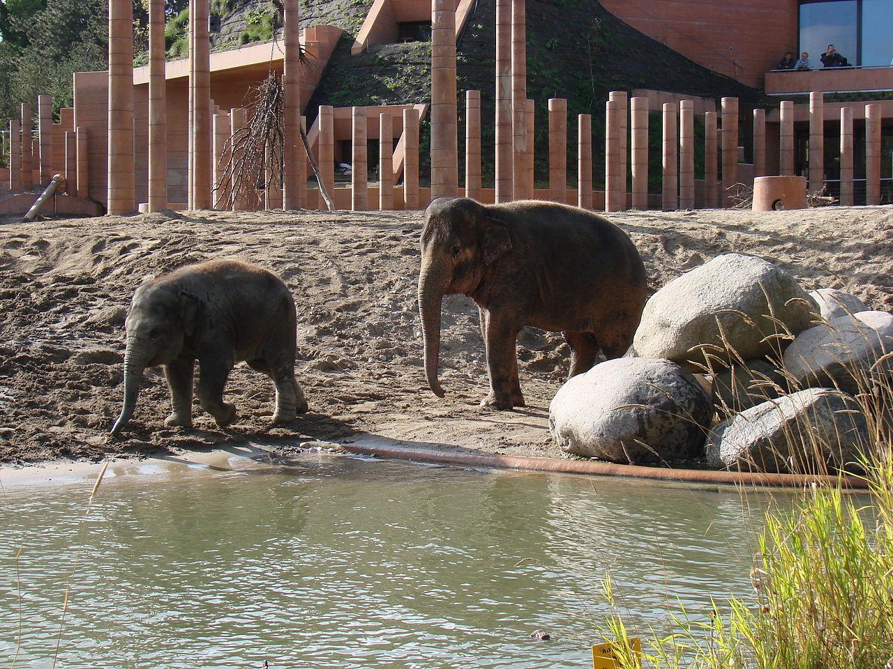 Stressade elefanter behandlas med cannabis