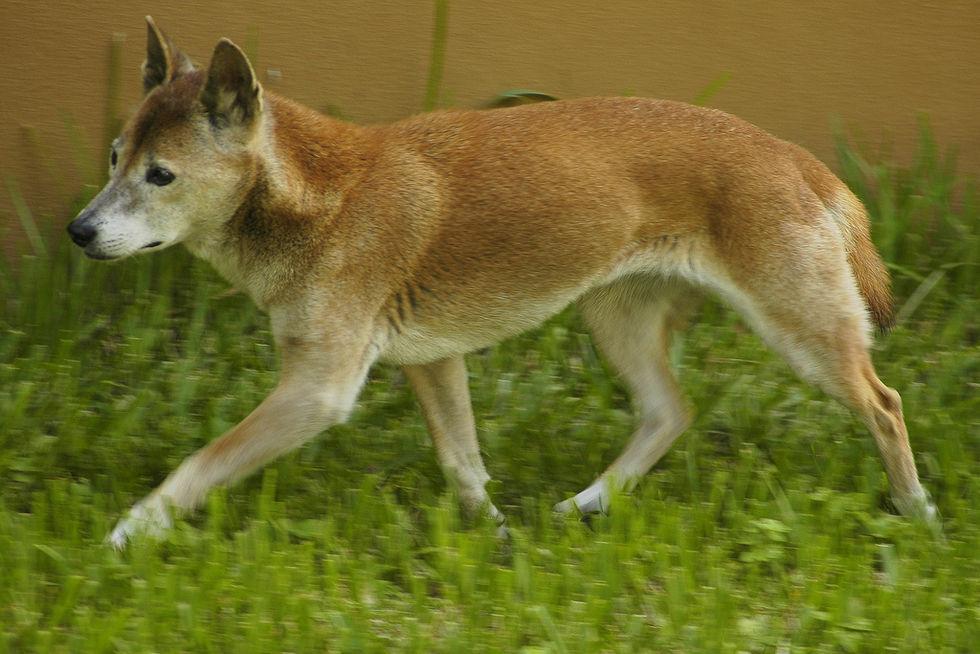Sjungande hundar på Nya Guinea upptäckta i det vilda