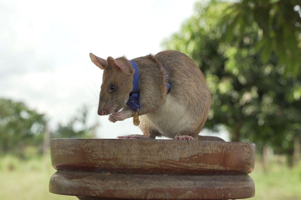 Minröjar-råttan Magawa belönas med en medalj