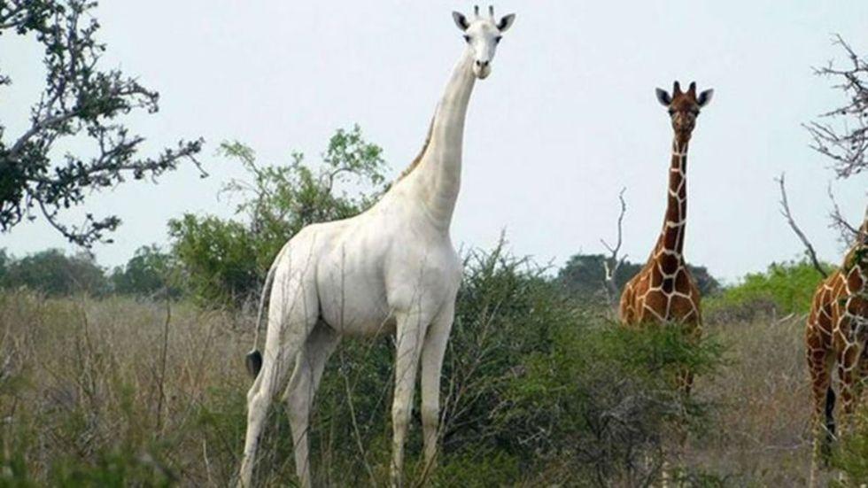 Världens sista vita giraff försedd med GPS