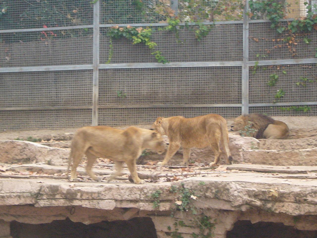 Lejon i Spanien har testats positivt för covid-19
