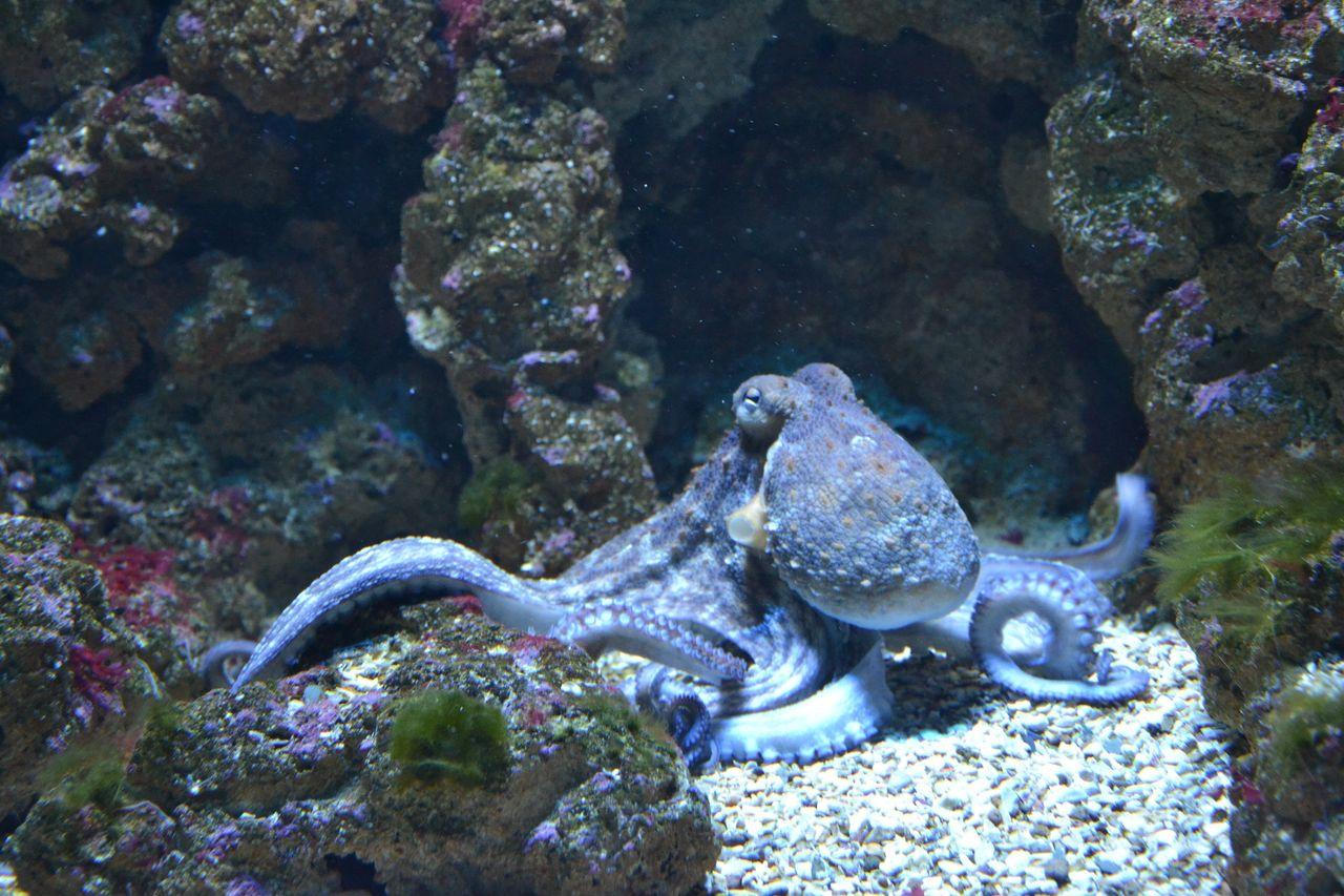 Bläckfiskar är havets mobbare