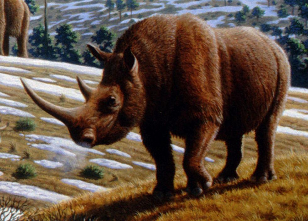Kadaver av utdöd ullhårig noshörning hittad i Sibirien