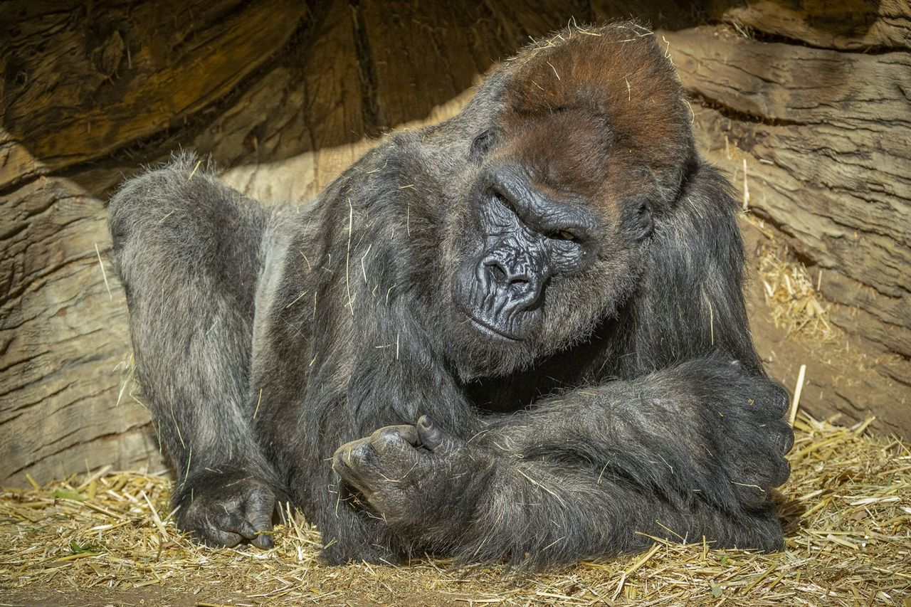 Gorillor smittade av covid-19 på San Diego Zoo