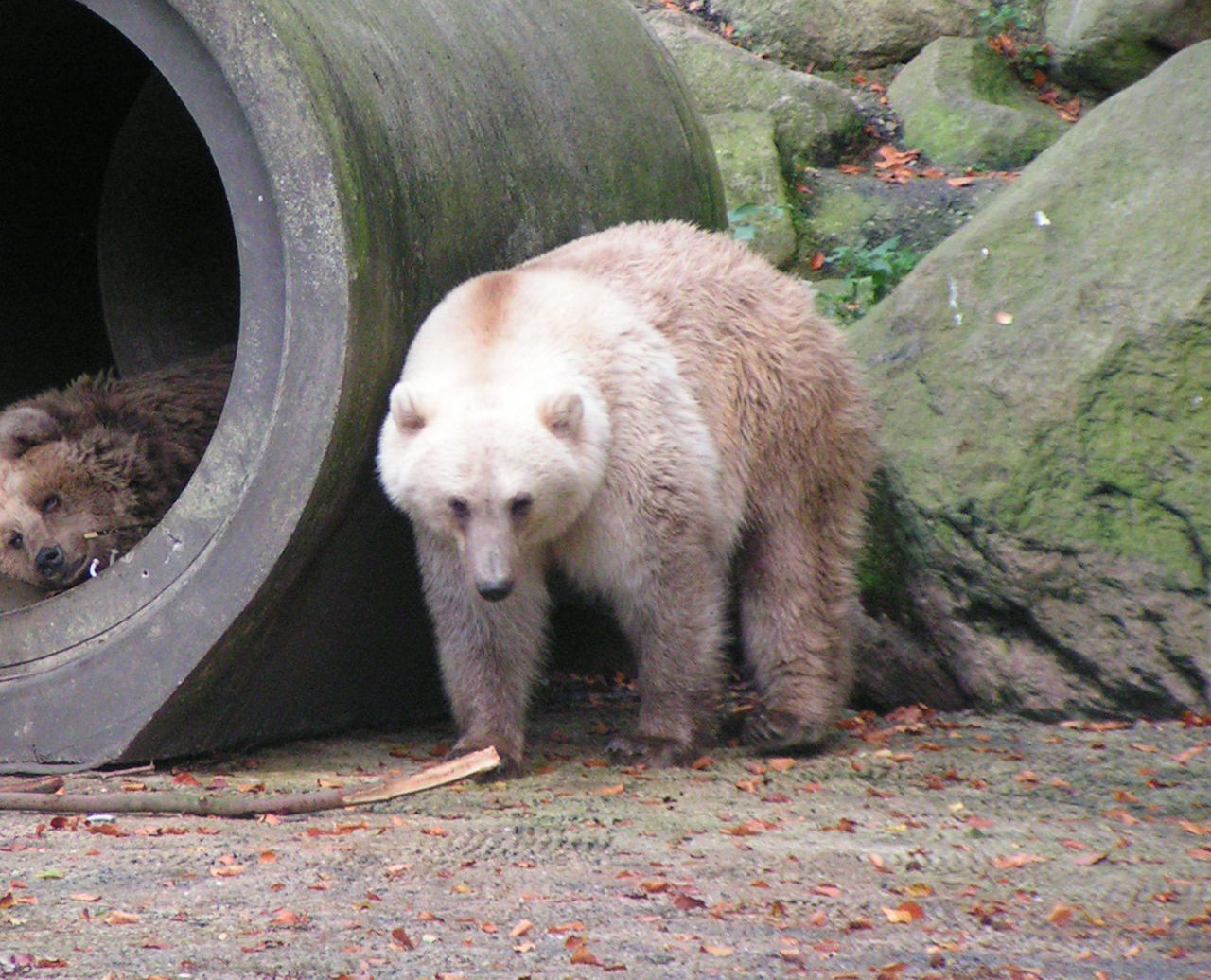 Pizzlybjörnar tros bli vanligare i framtiden