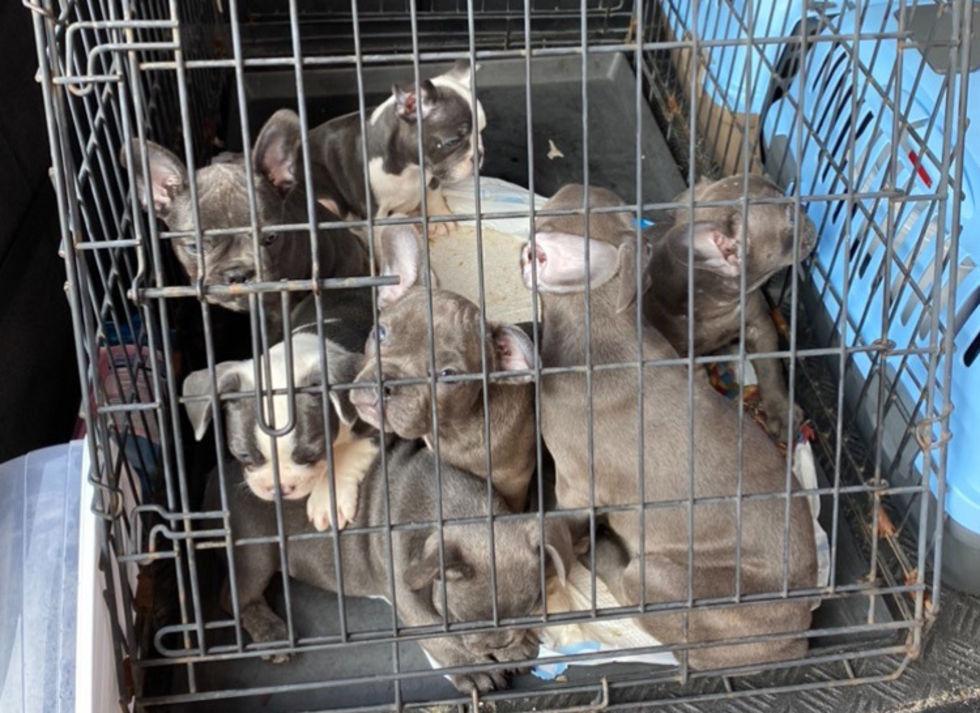 Tullverket stoppar allt fler smuggelhundar