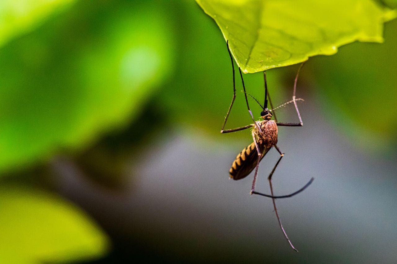 Redigerat DNA kan stoppa myggor med malaria