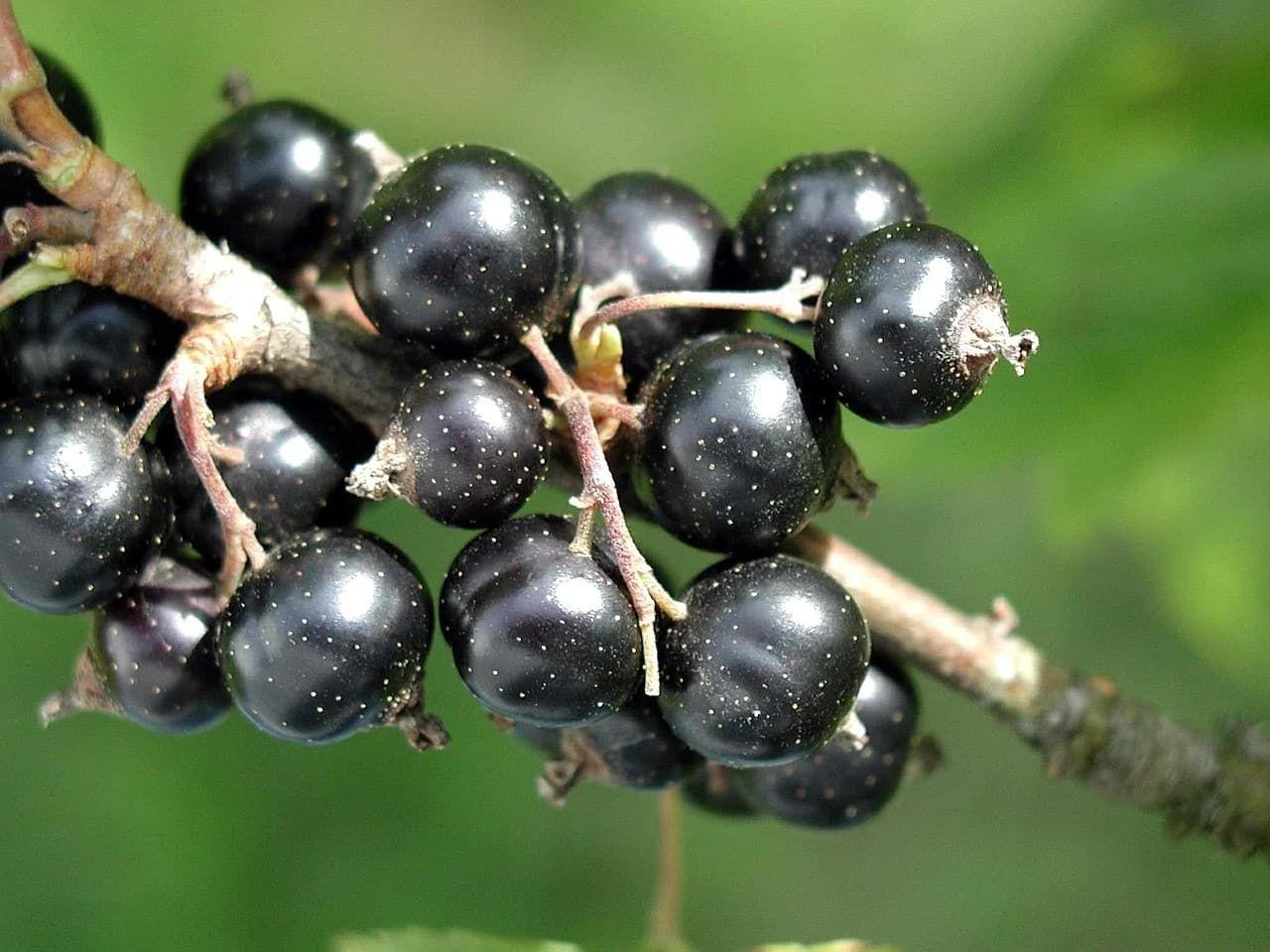 Forskare tar fram ny sorts svarta vinbär