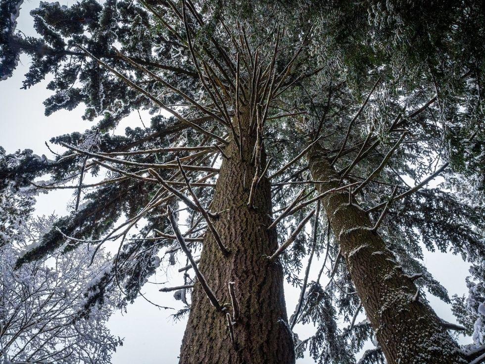 Sveriges högsta träd har dött