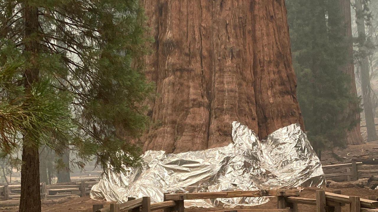 Jätteträd kläs in i folie i amerikansk nationalpark