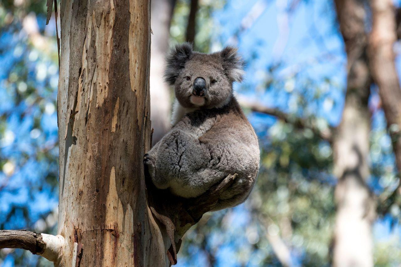 30 procent av världens koalor har försvunnit sedan 2018